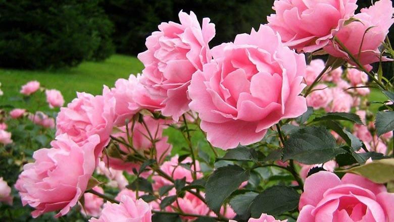 древовидный пион цветы